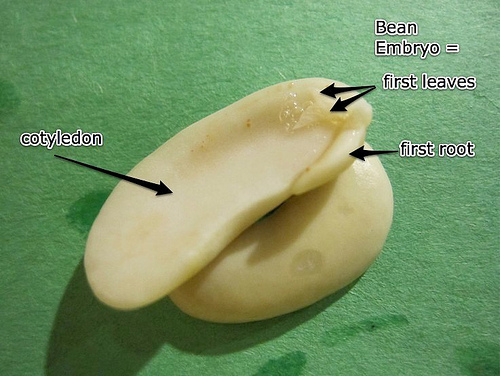 3 bean embryo
